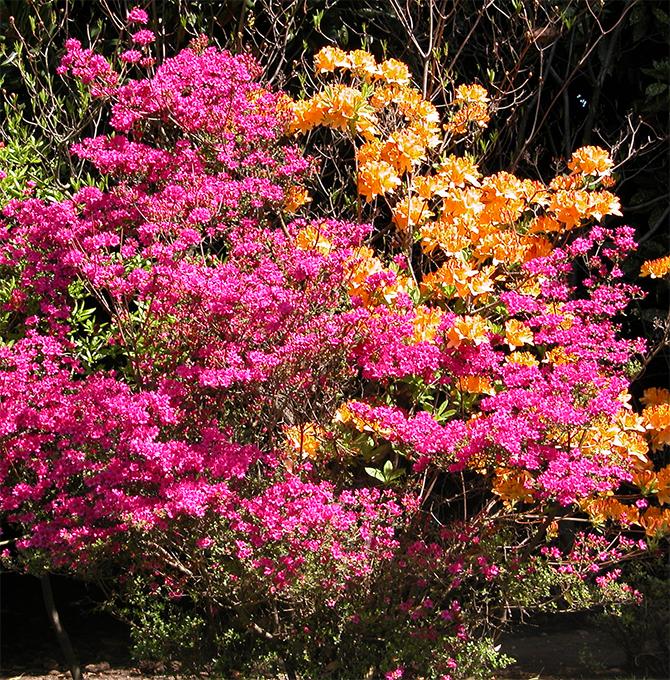 fioriture_azalea