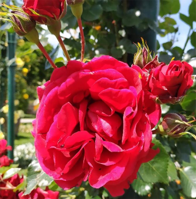 fioriture_pallavicino-roseto