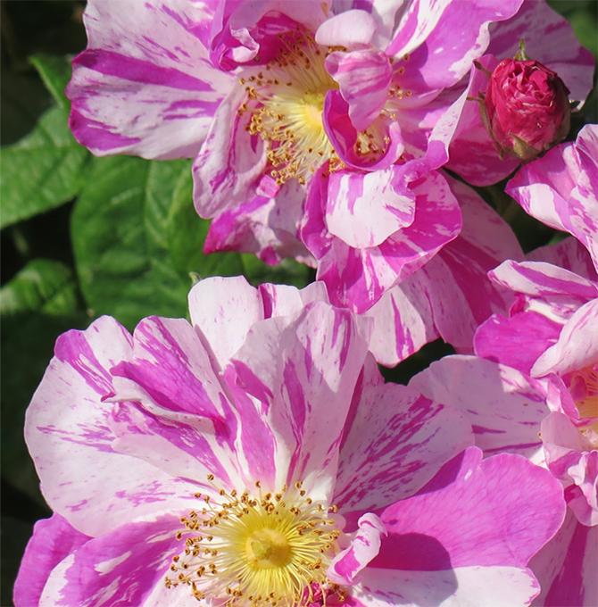fioriture_roseta-rocca