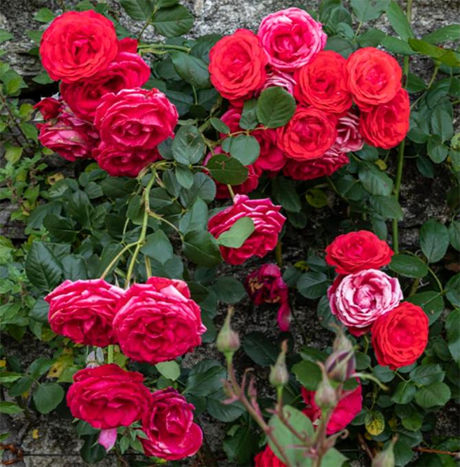 rose_rose-rosse