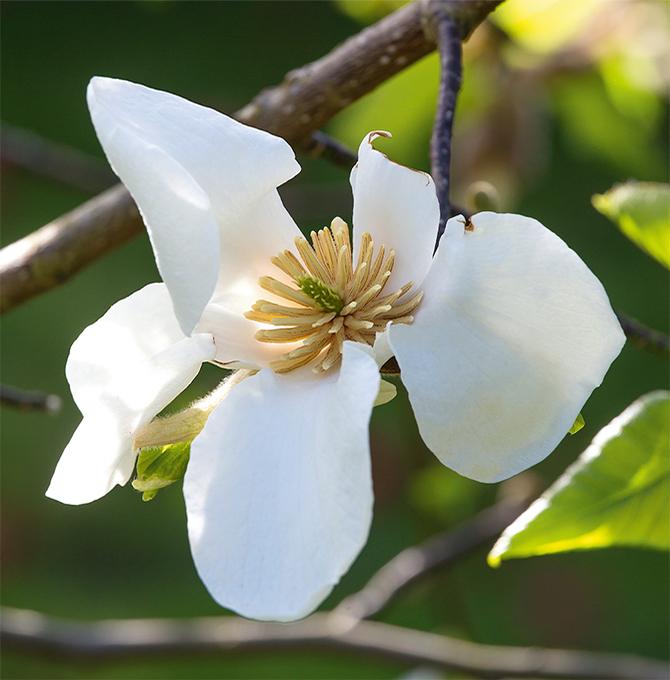 fioriture_magnolia
