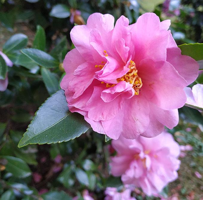 foiliage-autunno-camelia-foliage