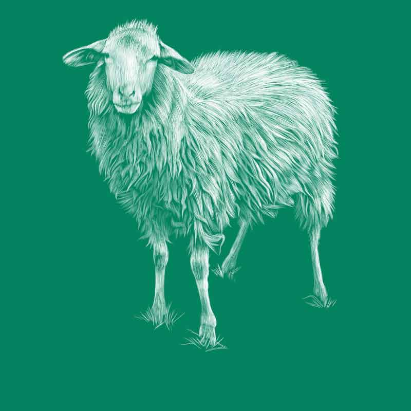Saltasassi sheep