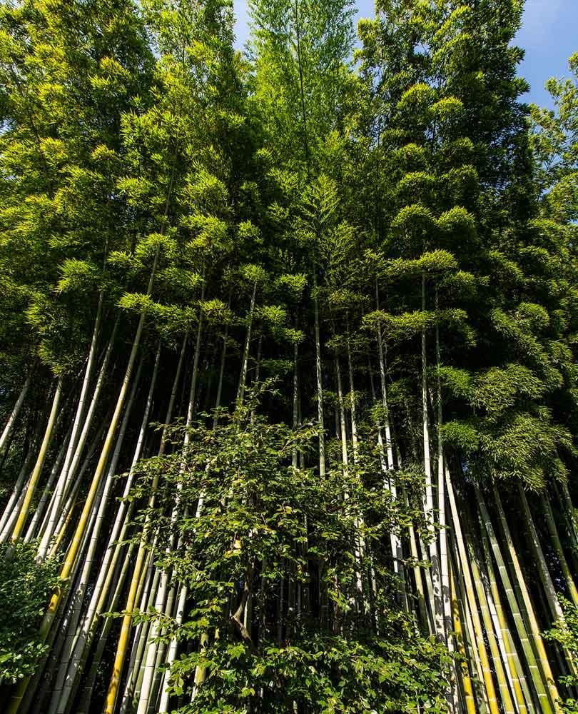 Isola Madre Bambu