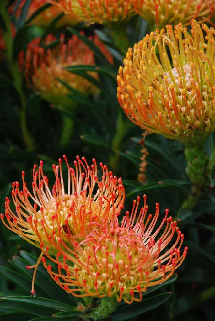 protea isola madre