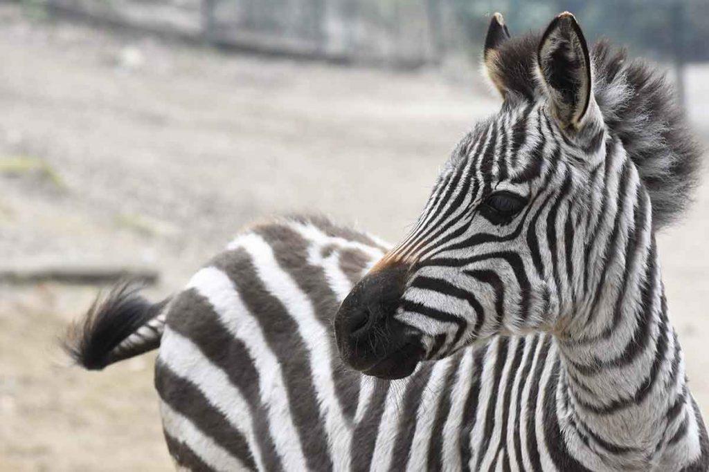 Parco-Pallavicino-Zebra-Marina