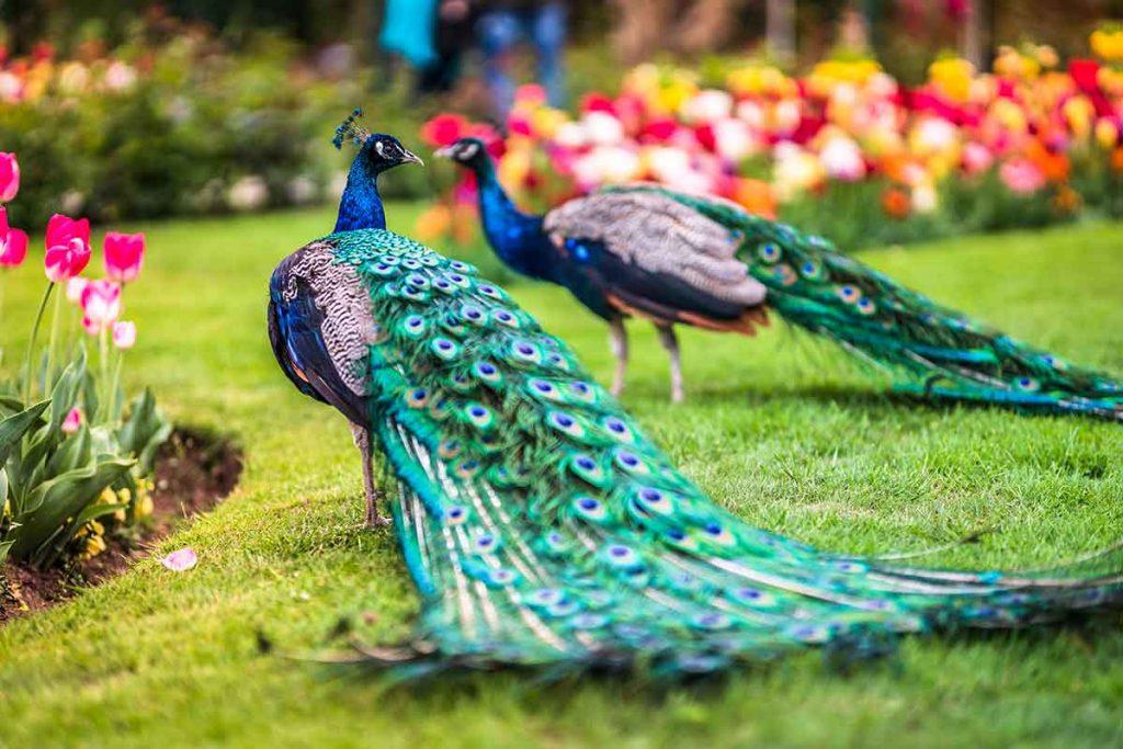 Parco Pallavicino pavoni