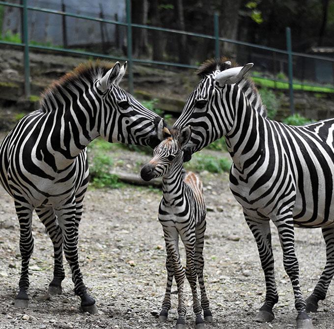 zebra-Marina-Parco-Pallavicino