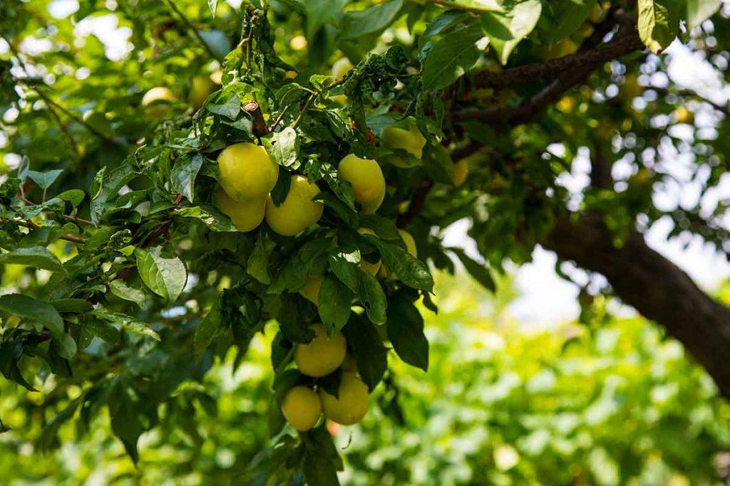 frutteto rocca di angera