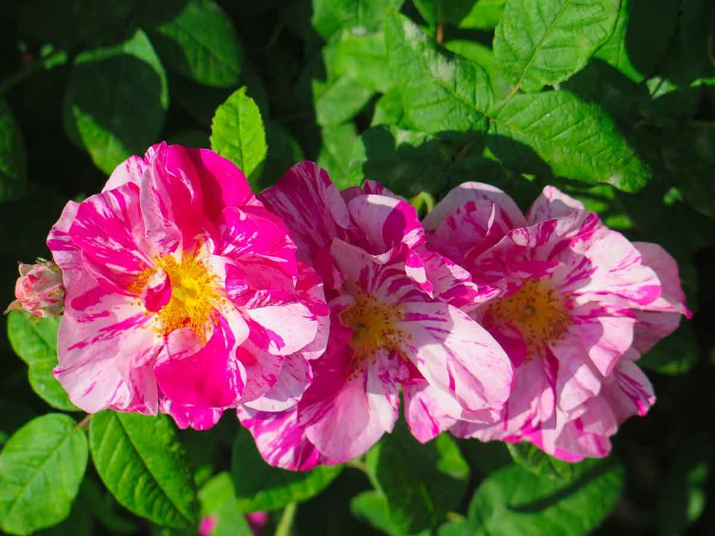 rose rocca di angera