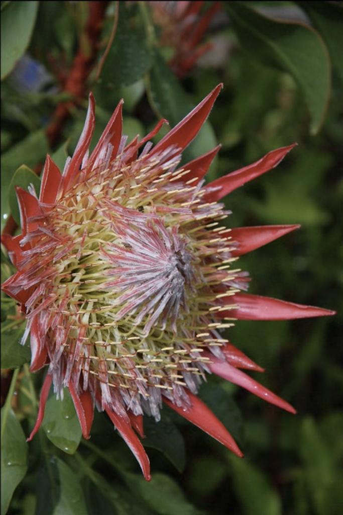 Isola-Madre Terrazza-Protea