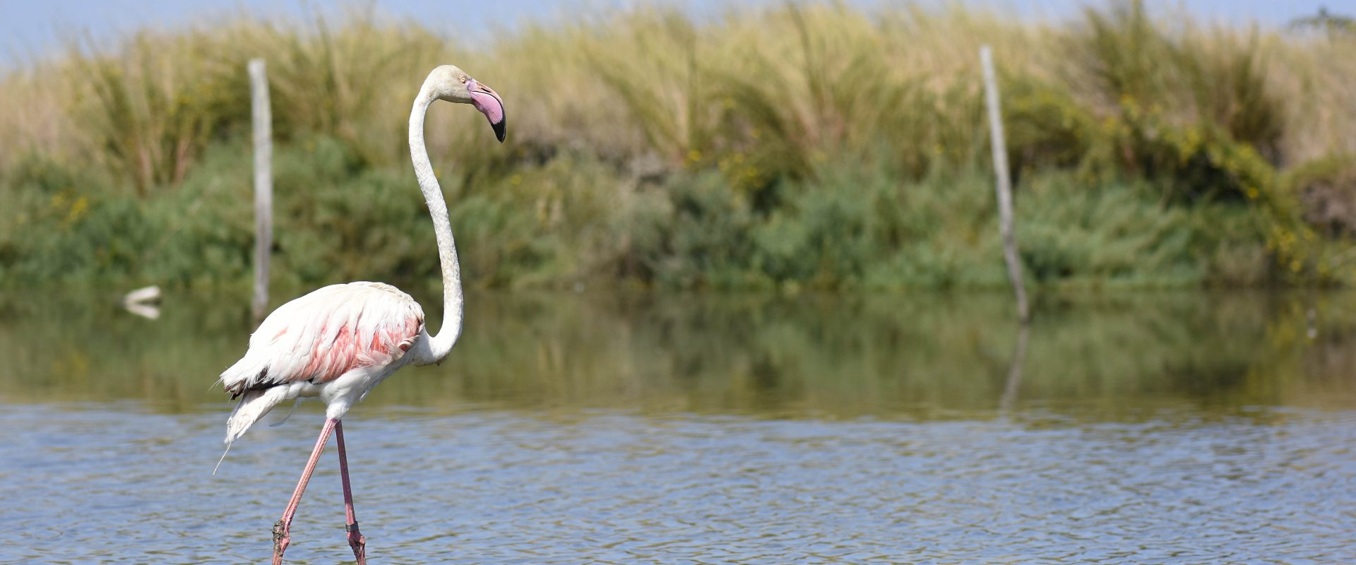 Da Parco Pallavicino al Delta del Po, a lieto fine il salvataggio del fenicottero rosa