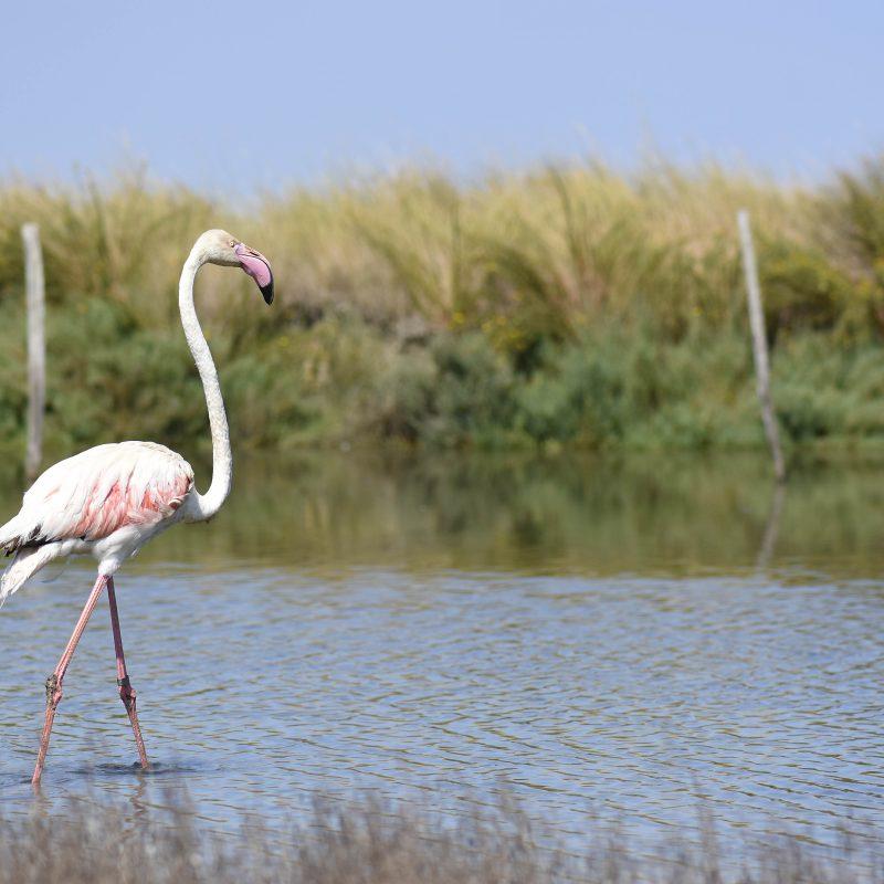 Vom Parco Pallavicino zum Po-Delta, Happy End für den rosa Flamingo